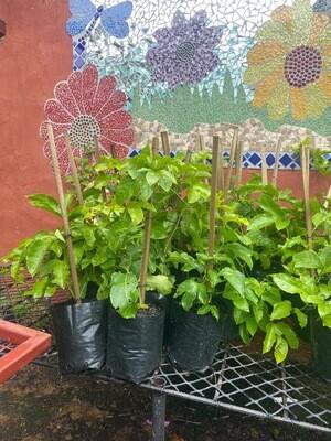 Granadilla Passiflora incarnata 'Ester'