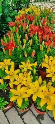 Lilium Asiatic mix 18cm