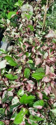 Hibiscus Ros. Copper 25cm