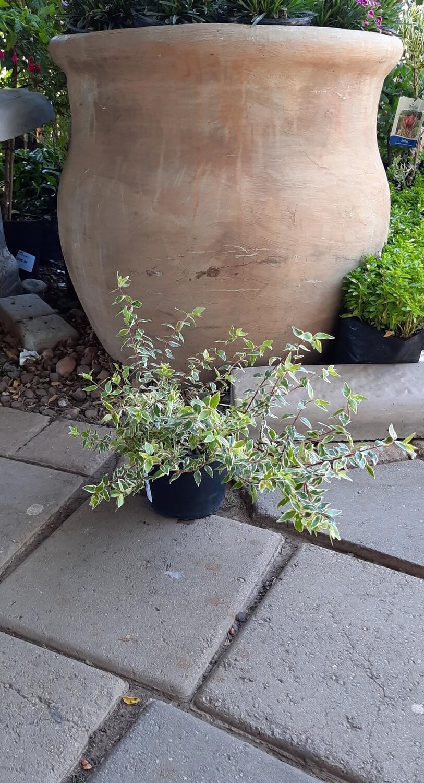 Abelia x Grandiflora 'Radiance' 5 Liter