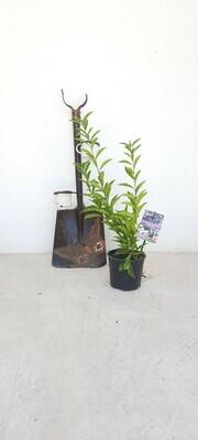 Brunfelsia pauciflora 'Floribunda' 5 Liter