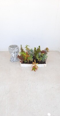 Succulent Mix 24 Plants