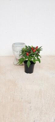 Capsicum Cubana (Mix) 12cm