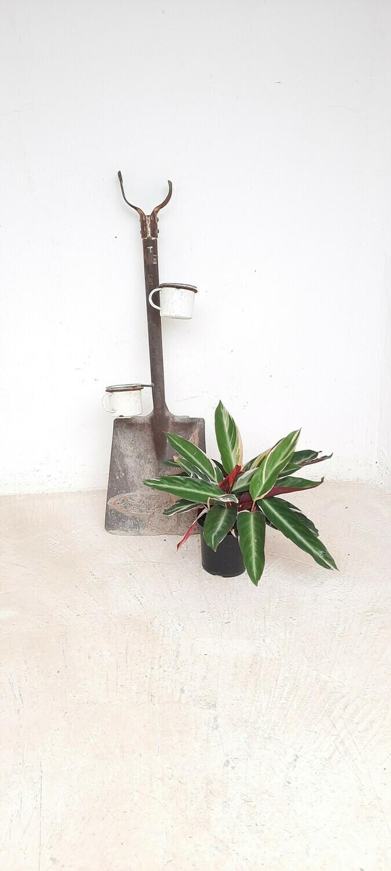 Stromanthe Triostar 14cm