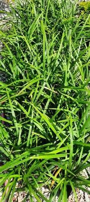 Ophiopogon Jaburan 2L