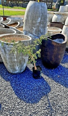 Senegalia Galpinii (Acacia Galpinii