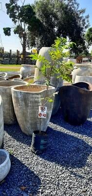 Pecan Nut Ukalinga 5 Liter
