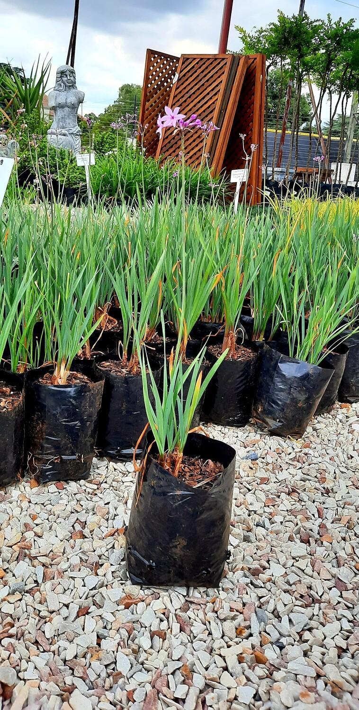 Wild Garlic (Tulbaghia Violacea) 2L