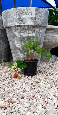 Fragaria X Annassa Strawberry-Elan 2L