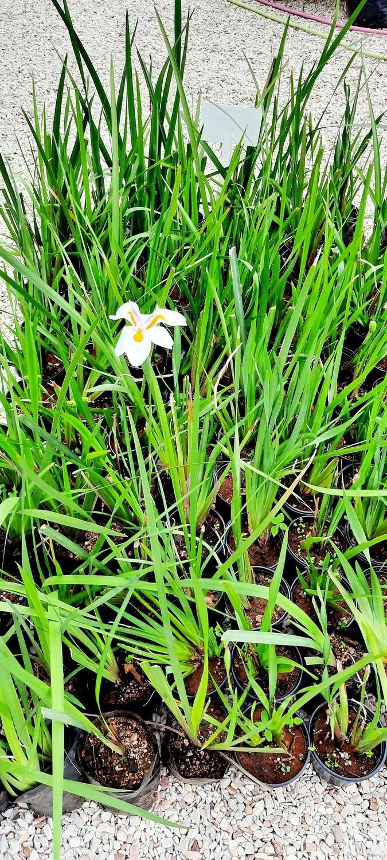 Dietes Grandiflora Fortnight Lily (Wild Iris) 2L