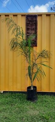 Cocos Palm 20L