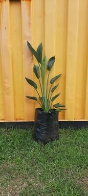 Strelitzia Reginae 20 liters