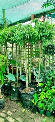 Ficus Golden King 40L