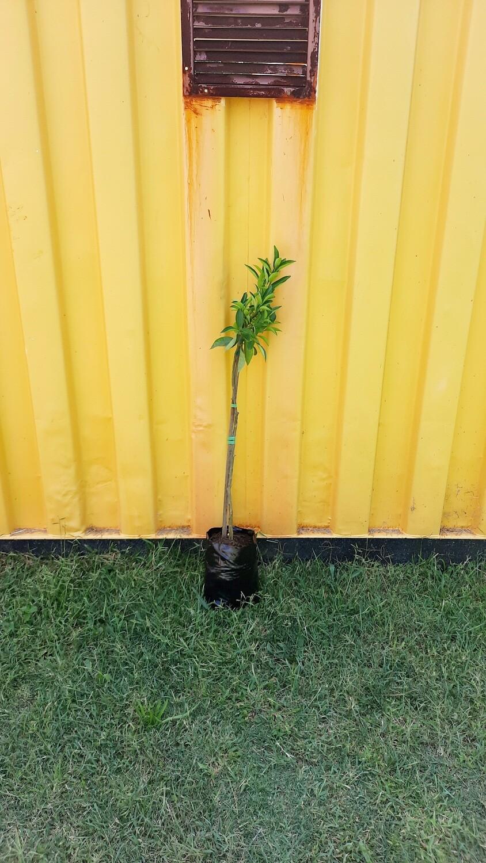 Citrus Naartjie Tree 6L