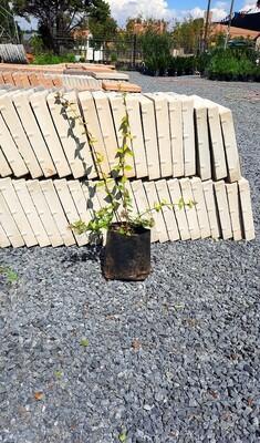 Abelia Grandiflora 'Francis Mason' 4 Liters