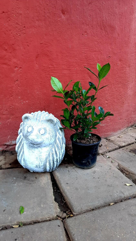 Gardenia Augusta 15cm