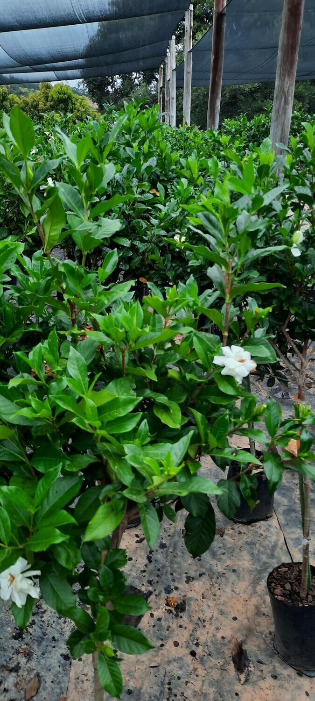 Gardenia Augusta Standard 10L