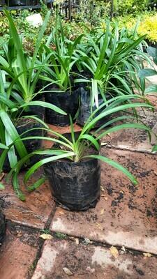 Agapanthus Purple 4L