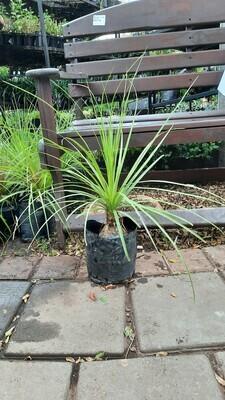 Ponytail Palms 4L