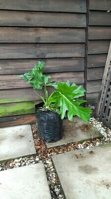 Philodendron Selloum 5L