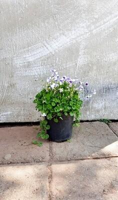 Viola Hederacea 15cm