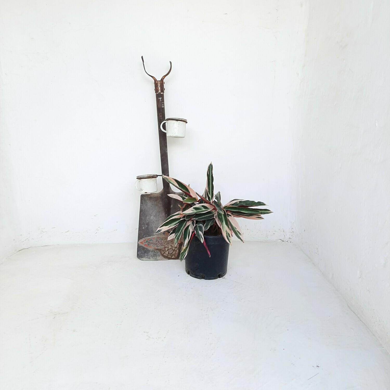 Stromanthe Sanguinea Tricolour 23cm
