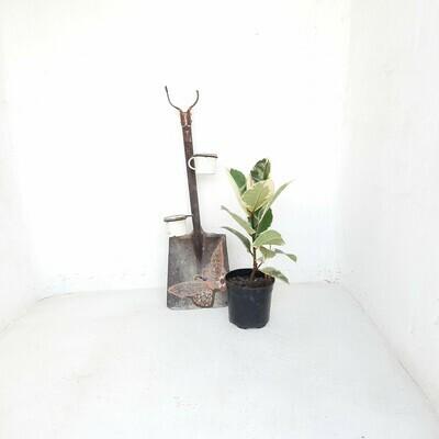 Ficus Elastica Tineke 19cm