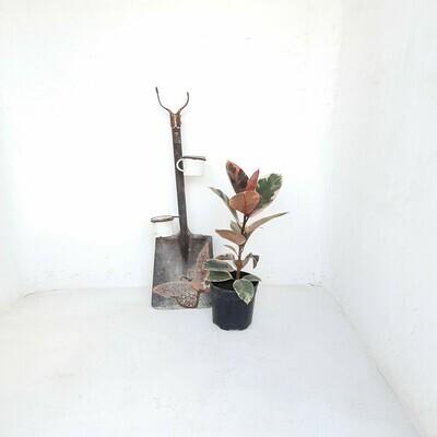 Ficus Elastica Beliza 19cm