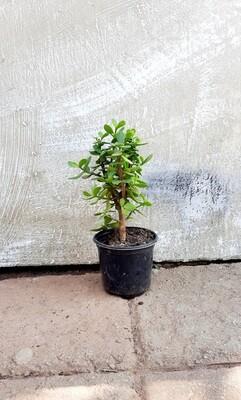 Portulacaria Afra (Spekboom) 12cm