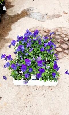 Viola Bal Viso Blue Seedlings 30 Pack