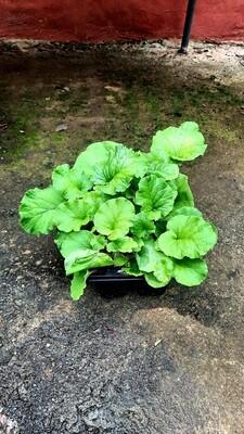 Primula Obconica Original Seedlings 6 Pack