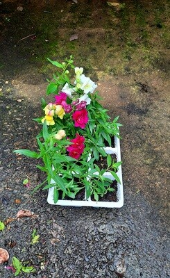 Antirrhinum (Snapdragon) Mixed Colours Seedlings 6 Pack