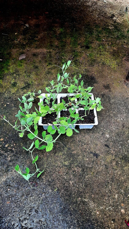 Sweetpea Bijou Mix Seedlings 6 Pack