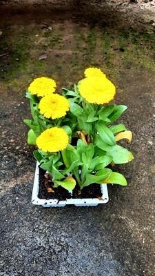 Calendula Mix Seedlings 6 Pack