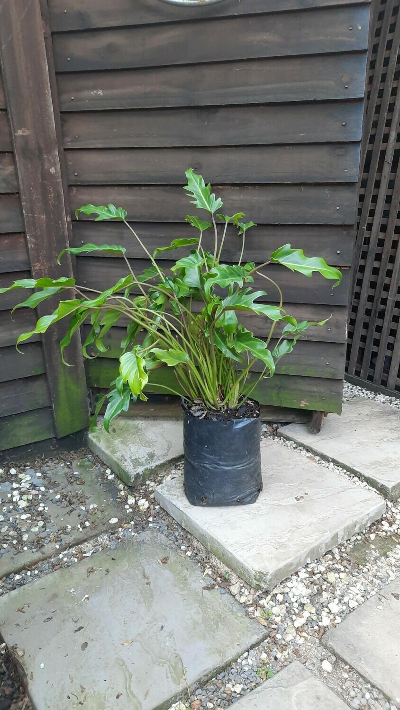 Philodendron Xanadu 5L