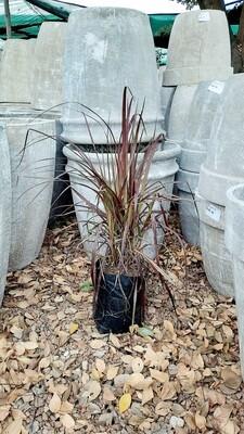 Pennisetum Purple 2.5L