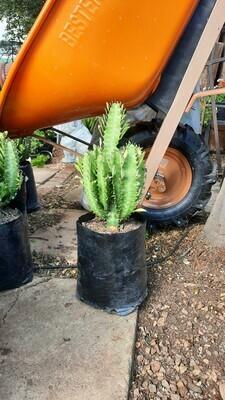 Euphorbia Trigona 5L