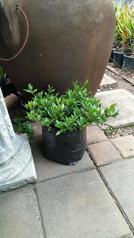 Gardenia Radicans 5L