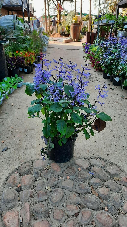 Plectranthus Mona Lavender 17cm