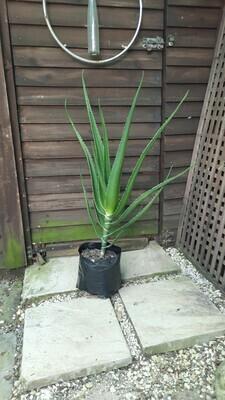 Aloe Bainesii (Tree Aloe) 8L
