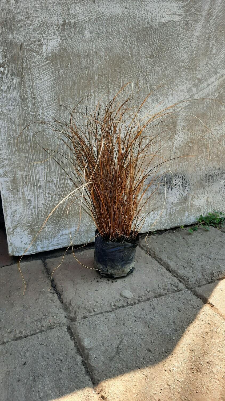 Carex Brownie Tall 2L