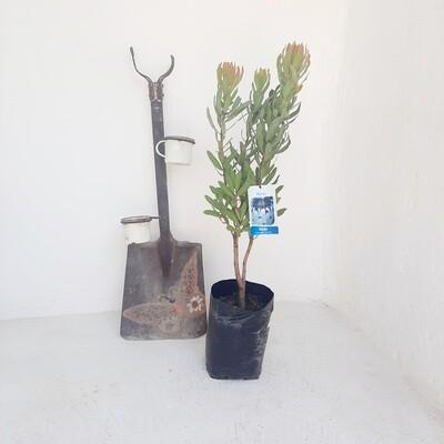 Protea Niobe 5L