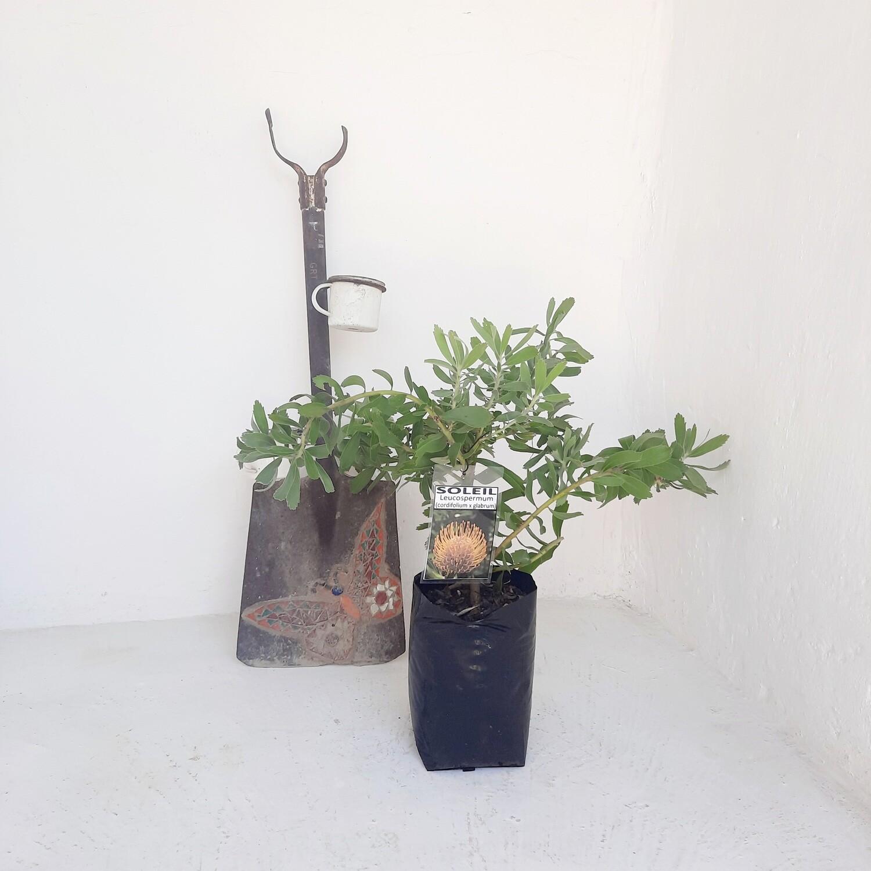 Protea Leucospermum Soleil 5L