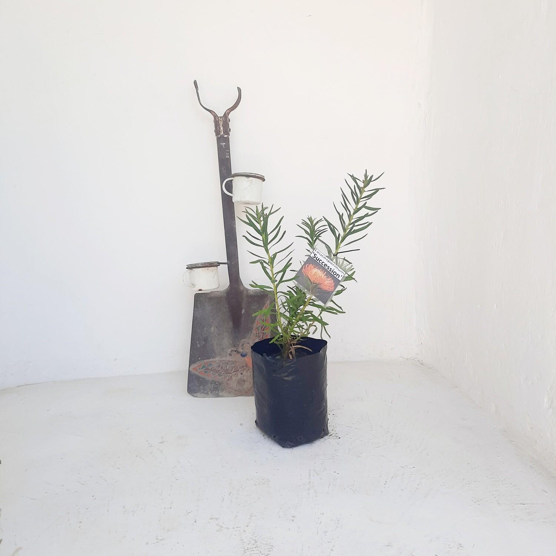 Protea Leucospermum Succession 5L