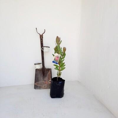Protea Sylvia 5L