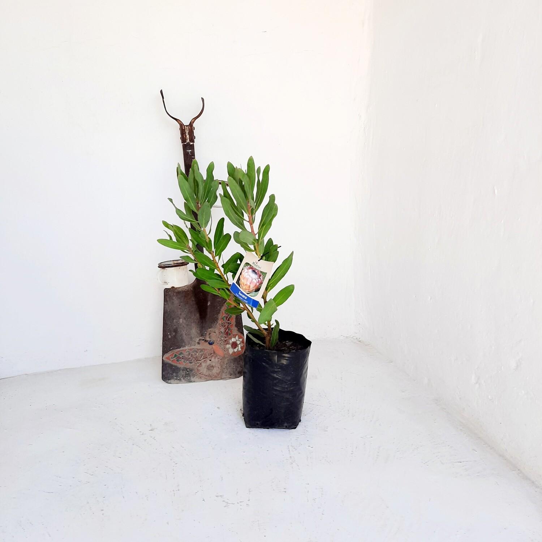 Protea Susara 5L