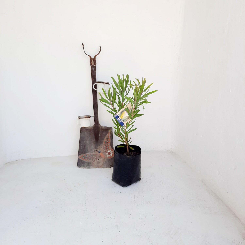 Protea Limelight 5L