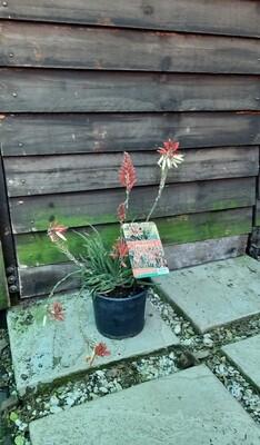 Aloe x Porcupine var 17cm