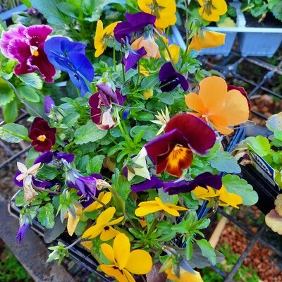Pansy Mixed Colours Seedlings 6 Pack