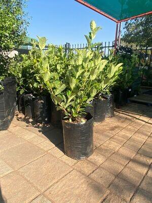 Viburnum Odoratissimum 20 Liter Large plants!